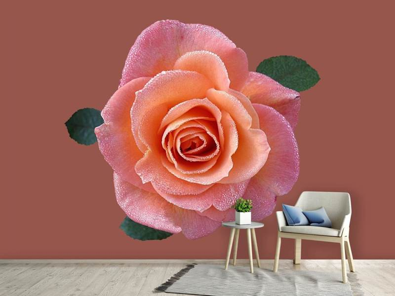 Photo Wallpaper Rose in apricot XXL