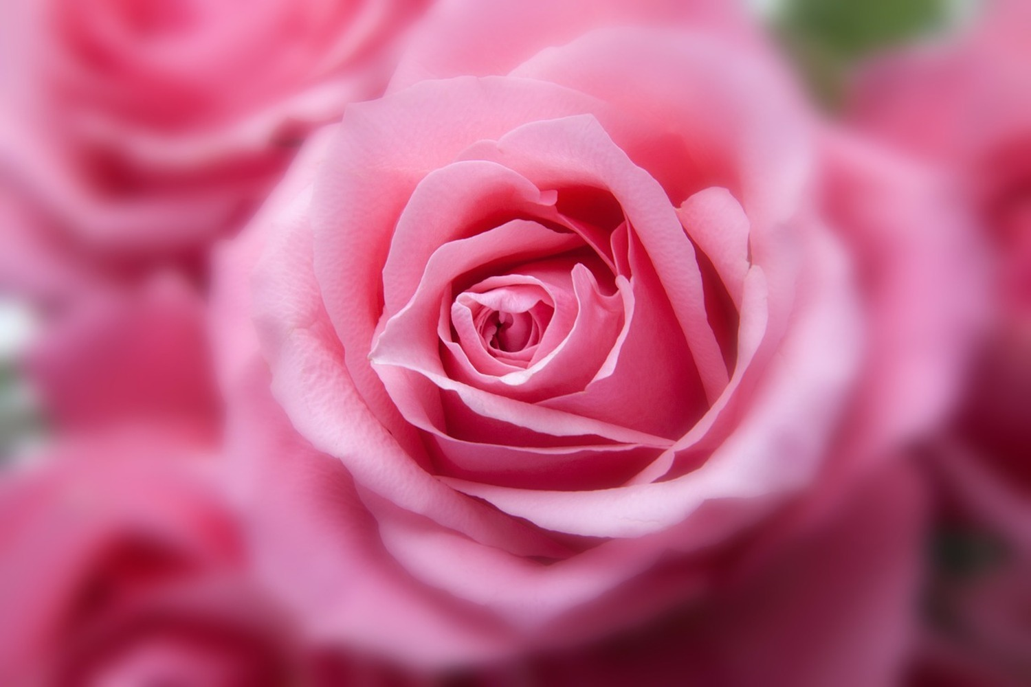 Photo Wallpaper Roses macro