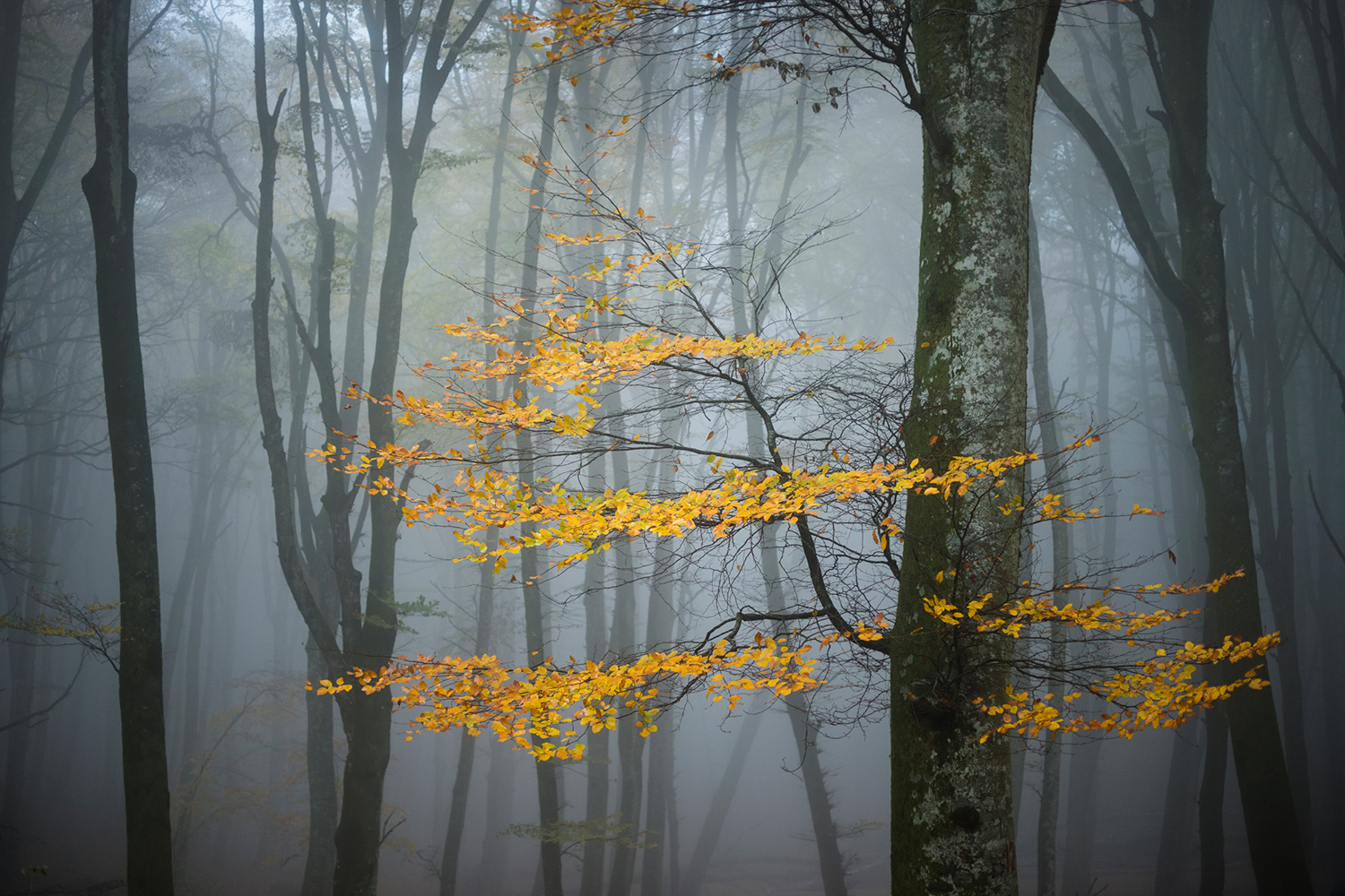 Fototapete Beech Forest In Autumn